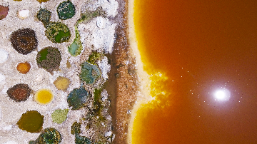 Tilapia beds of the Salton Sea