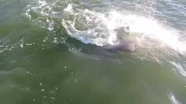 Footage of dolphins who come into the Bay at Galve